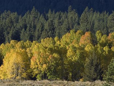 Aspen Fall Colors near Mammoth Lakes in the Eastern Sierra Mountains, California-Rich Reid-Photographic Print