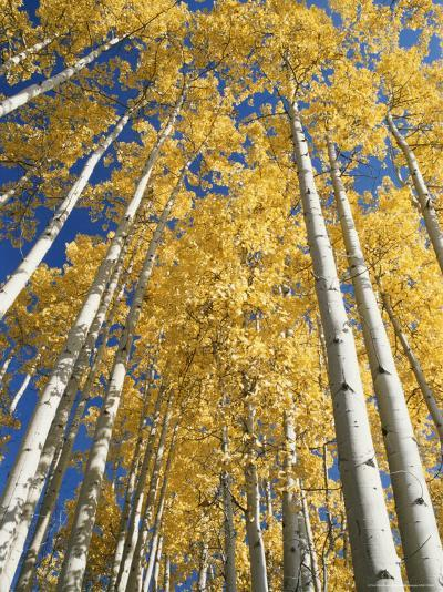 Aspen Fall Colors-Rich Reid-Photographic Print