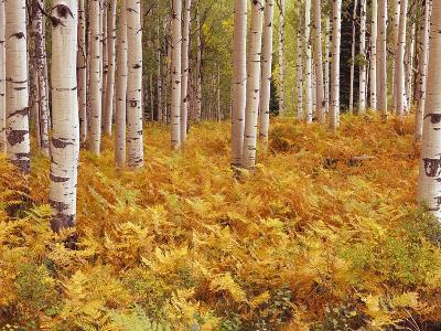 Aspen Forest in Golden Colored Ferns-William Manning-Photographic Print