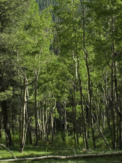 Aspen Forest in the Pecos Wilderness, Sangre De Cristo Mountains, New Mexico--Photographic Print