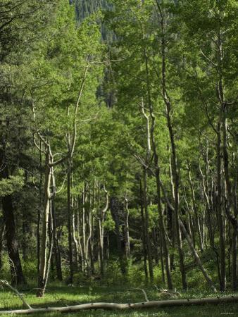 Aspen Forest in the Pecos Wilderness, Sangre De Cristo Mountains, New Mexico