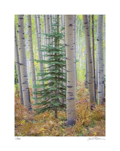 Aspen Forest-Donald Paulson-Giclee Print