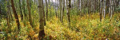 Aspen Grove at Two Medicine Valley, Us Glacier National Park, Montana, USA--Photographic Print