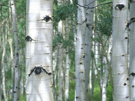 Aspen Grove, Colorado, USA-Julie Eggers-Photographic Print
