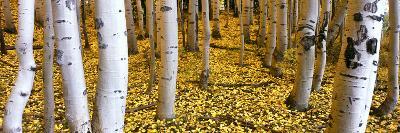 Aspen Grove, Cumbres Pass, San Juan Mountains, Colorado, Usa--Photographic Print