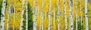 Aspen Grove, Granite Canyon Trail, Grand Teton National Park, Wyoming, Usa