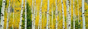 Aspen Grove, Granite Canyon Trail, Grand Teton National Park, Wyoming, Usa