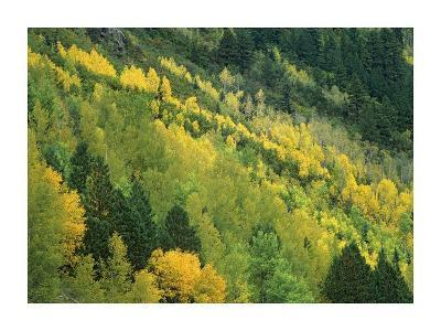 Aspen grove in fall colors, Gunnison National Forest, Colorado-Tim Fitzharris-Art Print