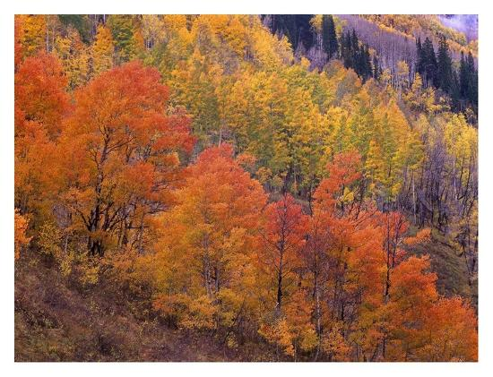 Aspen grove in fall colors, Washington Gulch, Gunnison National Forest, Colorado-Tim Fitzharris-Art Print
