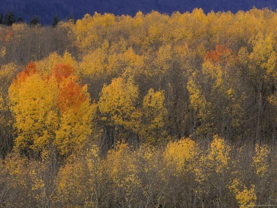 Aspen Grove in Fall, Victor, Idaho, USA-Jamie & Judy Wild-Photographic Print