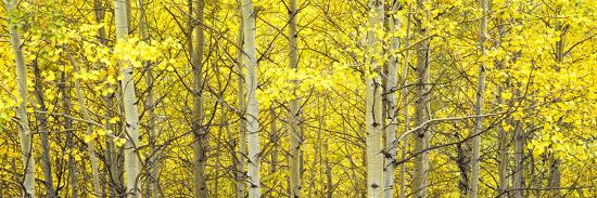 Aspen Grove, Teton Village, Grand Teton National Park, Wyoming, Usa--Photographic Print
