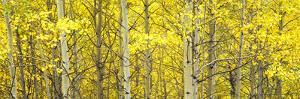 Aspen Grove, Teton Village, Grand Teton National Park, Wyoming, Usa