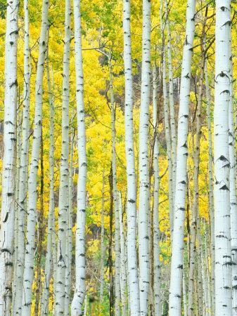https://imgc.artprintimages.com/img/print/aspen-grove-white-river-national-forest-colorado-usa_u-l-p3xbxg0.jpg?artPerspective=n