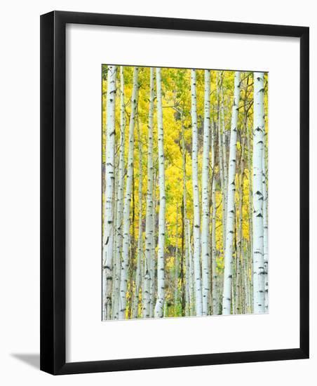 Aspen Grove, White River National Forest, Colorado, USA-Rob Tilley-Framed Photographic Print