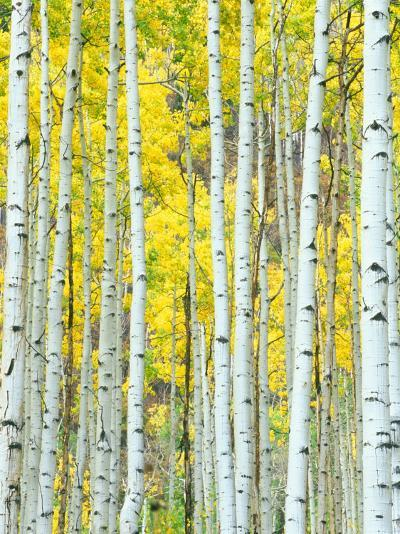 Aspen Grove, White River National Forest, Colorado, USA-Rob Tilley-Photographic Print