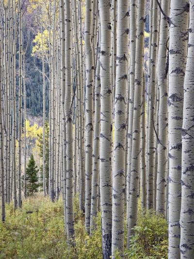 Aspen Grove with Early Fall Colors, Maroon Lake, Colorado, United States of America, North America-James Hager-Photographic Print