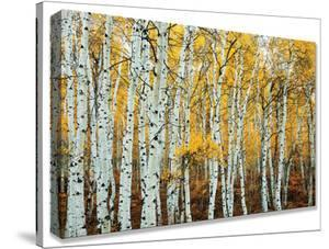 Aspen Grove Yellow