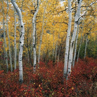 Aspen in autumn at Uinta National Forest-Micha Pawlitzki-Photographic Print