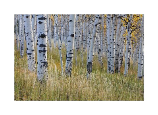 Aspen in Meadow-Don Paulson-Giclee Print