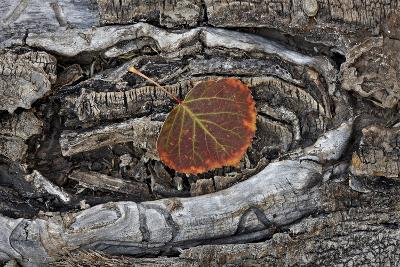 Aspen Leaf Turning Red and Orange-James Hager-Photographic Print