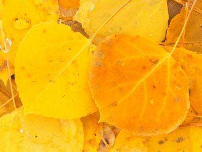 Aspen Leaves, Gunnison National Forest, Colorado, USA-Rob Tilley-Photographic Print