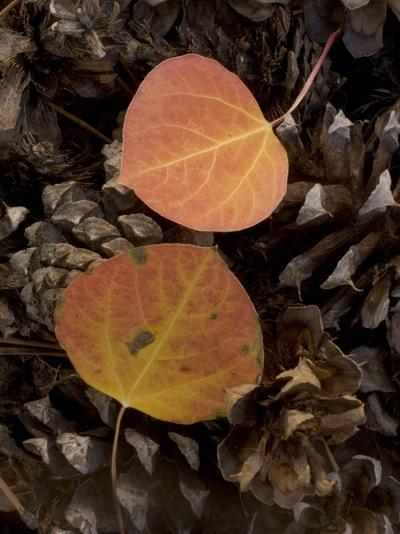 Aspen Leaves on Pine Cones in the Fall, Stanislaus National Forest Reserve, California-Phil Schermeister-Photographic Print