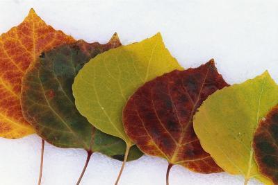 Aspen Leaves on Snow-Darrell Gulin-Photographic Print