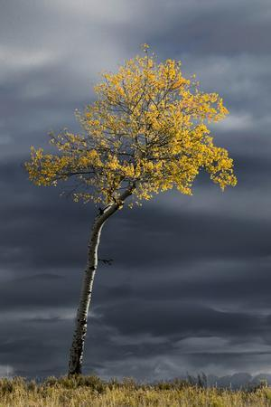 https://imgc.artprintimages.com/img/print/aspen-tree-in-fall-color-against-dark-stormy-sky-uncompahgre-national-forest-colorado_u-l-q1blkze0.jpg?p=0
