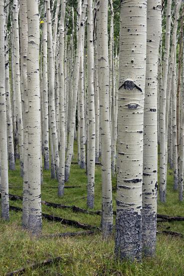 Aspen Trees Along the Inner Basin Trail in the Coconino National Forest-Scott Warren-Photographic Print