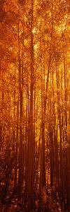 Aspen Trees at Sunrise in Autumn, Colorado, USA
