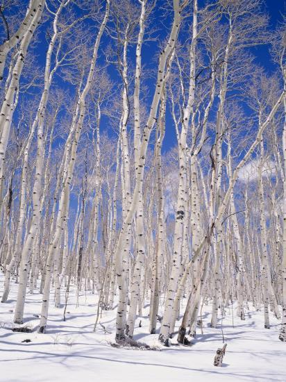 Aspen Trees During Winter, Dixie National Forest, Utah, USA-Roy Rainford-Photographic Print