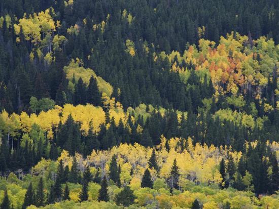 Aspen Trees, Endovalley, Rocky Mountain National Park, Colorado, USA-Rolf Nussbaumer-Photographic Print