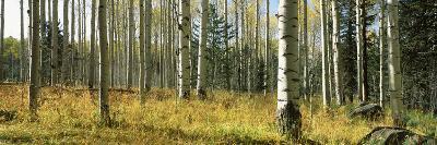 Aspen Trees, Humphrey Park, Flagstaff, Arizona, USA--Photographic Print
