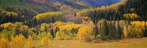 Aspen Trees in a Field, Telluride, San Miguel County, Colorado, USA