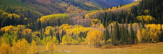 Aspen Trees in a Field, Telluride, San Miguel County, Colorado, USA--Photographic Print