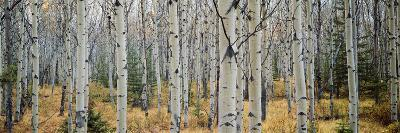 Aspen Trees in a Forest, Alberta, Canada--Photographic Print