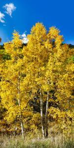 Aspen Trees in a Forest Along Ophir Pass, Umcompahgre National Forest, Colorado, USA