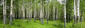 Aspen Trees in a Forest, Banff, Banff National Park, Alberta, Canada