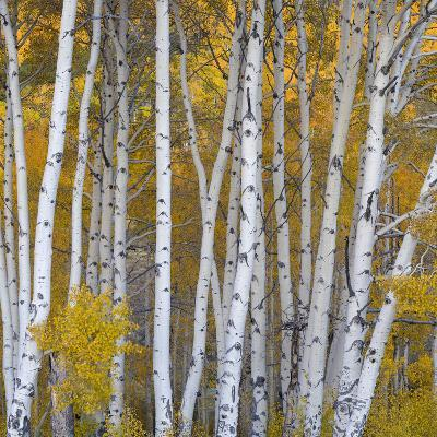 Aspen Trees in a Forest, Boulder Mountain, Utah, Usa--Photographic Print