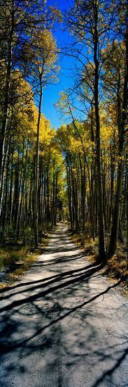Aspen Trees in a Forest, Californian Sierra Nevada, California, USA--Photographic Print
