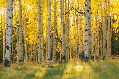 Aspen trees in a forest, Coconino National Forest, Arizona, USA--Photographic Print