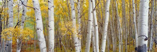 Aspen Trees in a Forest, Colorado, USA--Photographic Print