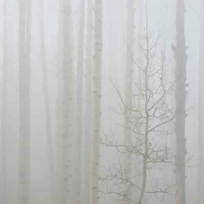 Aspen Trees in a Forest During Fog, Boulder Mountain, Utah, Usa--Photographic Print