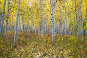 Aspen Trees in a Forest, Maroon Bells, Maroon Creek Valley, Aspen, Pitkin County, Colorado, USA