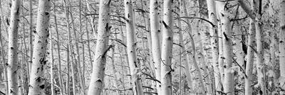 https://imgc.artprintimages.com/img/print/aspen-trees-in-a-forest-rock-creek-lake-california-usa_u-l-pnu3i20.jpg?p=0
