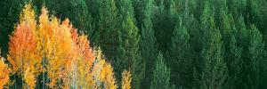 Aspen Trees in a Forest, Taggart Lake, Grand Teton National Park, Wyoming, Usa