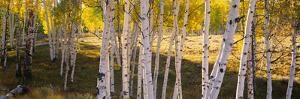 Aspen Trees in a Forest, Telluride, San Miguel County, Colorado, USA