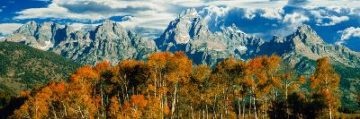 Aspen Trees in a Forest, Teton Range, Grand Teton National Park, Wyoming, Usa--Photographic Print