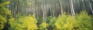 Aspen Trees in a Forest, Utah, USA