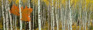 Aspen Trees in a Forest, Valley Trail, Grand Teton National Park, Wyoming, Usa